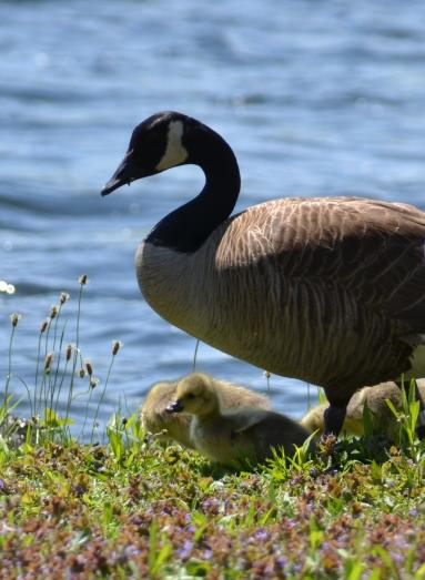 Kenoza Lake Goose and Gosling