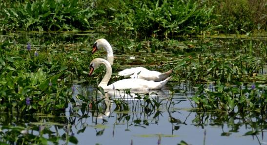 Swans viewed from Kenoza Trail