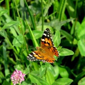 IMG_8488 single butterfly