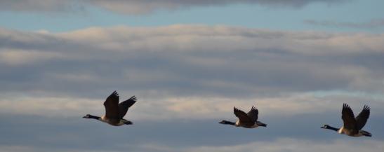 Geese on Plum Island