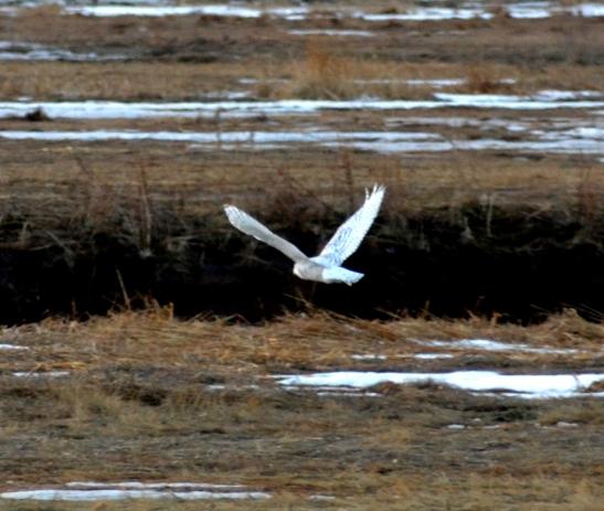 Snowy Owl Plum Island