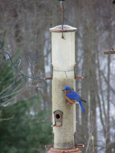 IMG_3416 Bluebird Haverhill