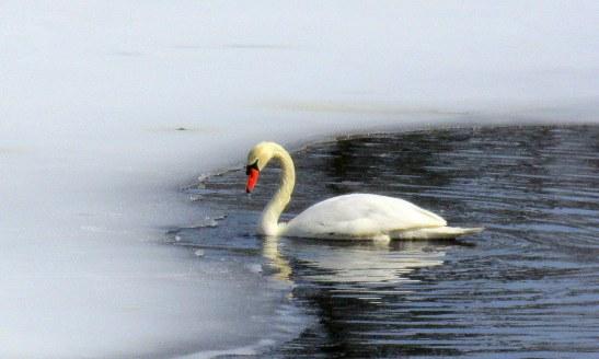 IMG_3580 Haverhill Winnekenni Swan for blog