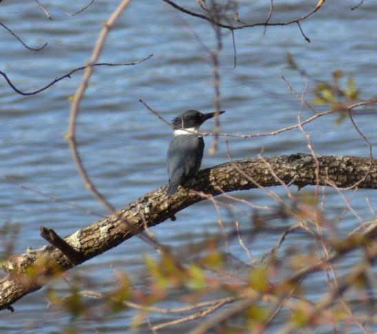 Kingfisher on the Merrimack River haverhill