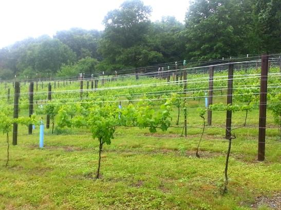 20140613_140812 Haverhill Willow spring vineyard