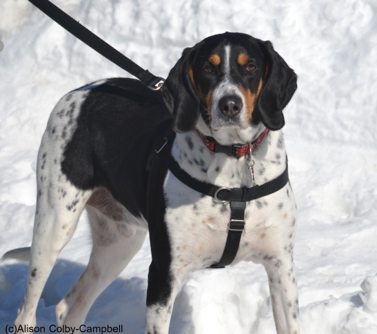 Huckleberry the Bluetick Coonhound