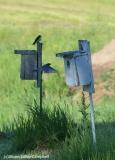 Bluebird heading into nest