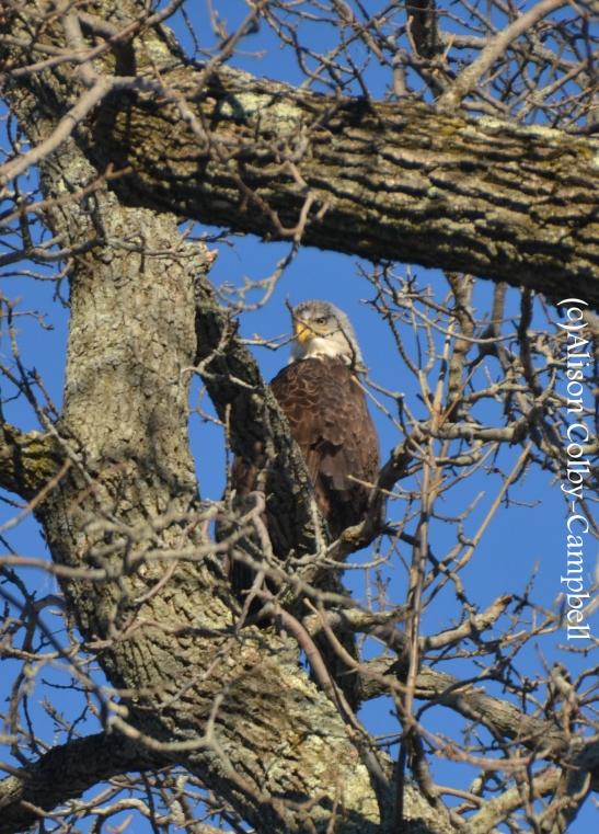 Eagle on the Merrimack River
