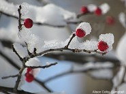 IMG_1193 Haverhill red berries and snow