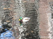 IMG_4552 Haverhill Fire Duck Little River