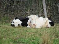 Crescent Farm Cows