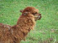Crescent Farm Alpaca