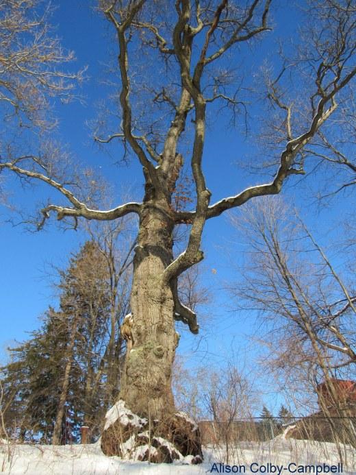 IMG_6482 Haverhill Buttonwoods Winter snow Worship Oak