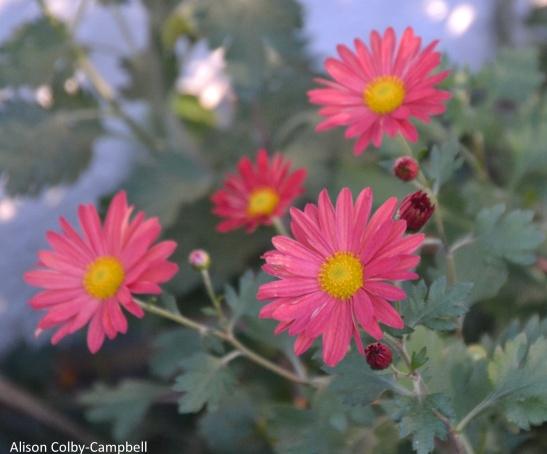 DSC_7199 Haverhill My mums perennials