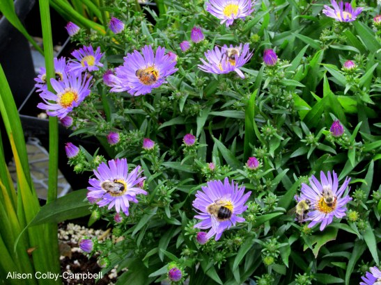 IMG_4179 Fall Foliage 2015 Asters and Bees
