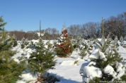 DSC_2093 Haverhill Christmas Trees Turkey Hill Farm