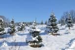 DSC_2181 Haverhill Christmas Trees Turkey Hill Farm
