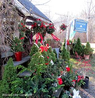 IMG_2223IMG_2231 Haverhill Cottage Gardens Christmas trees