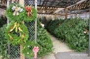 IMG_2352 HAverhill Christmas Trees Holland Flowers