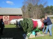 IMG_2419 Haverhill Christmas Trees Hansen Tree Farm