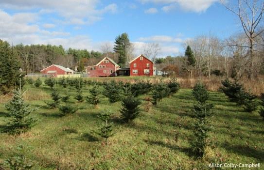 IMG_2462 Haverhill Christmas Trees Hansen Tree Farm
