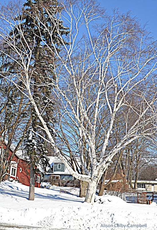 DSC_3328 Haverhill Snow 2018 Favorite Tree on Mill St