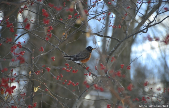 DSC_3658 Haverhill First robin of 2018 on Jan 9.